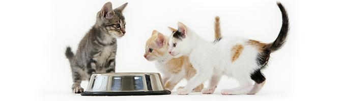 De beste voeding voor uw kitten